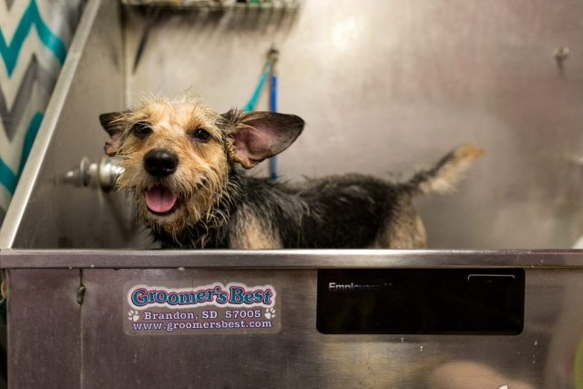 Lawren Rose Photography captures the face of a scruffy puppy in a dog grooming tub in floresville texas