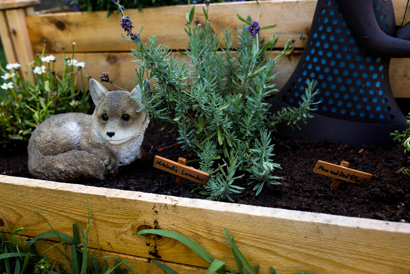 lavender plant in a garden next to a fox
